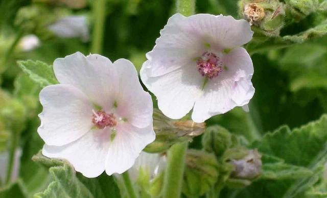 цветы алтея