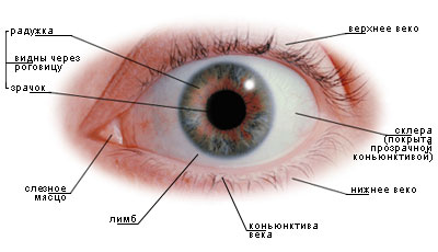 как выглядит глаз